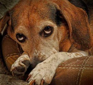 7 doenças que afetam cães idosos