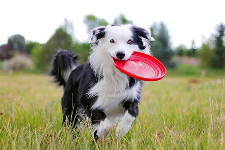 Os 8 Cães Mais Inteligentes Do Mundo